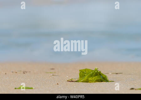 green water plant lying on a sandy beach - Stock Image