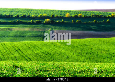 Green wheat fields. Agricultural land. Treated spacious field in the plane. A row of green trees between the fields. - Stock Image