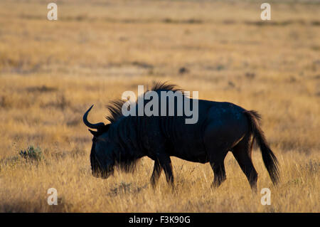 Silhouette of a Wildebeest, Connochaetes taurinus, Masai Mara National Reserve, Kenya, Africa - Stock Image