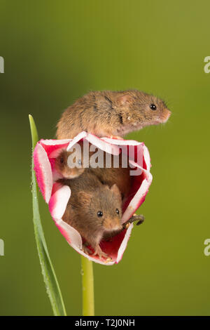 Three harvest mice (Micromys minutus), a small mammal or rodent species. Cute animals on a pink and white tulip flower. - Stock Image