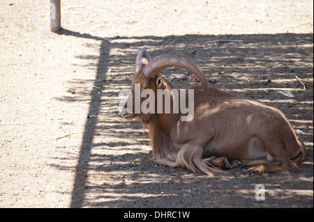 Antelope enjoying shade - Stock Image