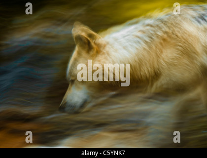 Spirit Of The Wolf - Stock Image