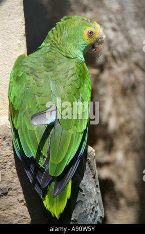 Yellow Shouldered Amazon Parrot , Amazona barbadensis, psittacidae. Venezuela - Stock Image