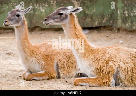 A pair of llamas - Stock Image