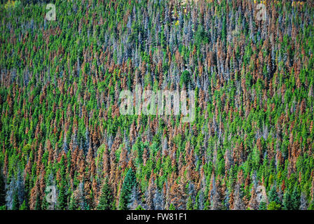 Dead brown and grey whitebark pine trees dominate a mountainside from pine beetle damage scars Rocky Mountain National - Stock Image