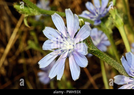 Cichorium intybus (chicory) is a European species typically found on roadsides but now widely cultivated for its edible leaves and roots. - Stock Image