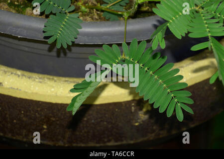 shameplant or action plant after touching, sensitive mimosa pudica or sleepy plant or dormilones or zombie plant with contact hairs that move when tou - Stock Image