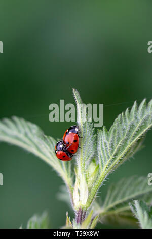 Pair of seven spot ladybirds (Coccinella septempunctata) mating on the leaf of a stinging nettle - Stock Image