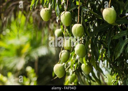 Mango tree in southern Sierra Leone - Stock Image