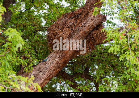 Kenyan rock agama (Agama lionotus), Tanzania, East Africa - Stock Image