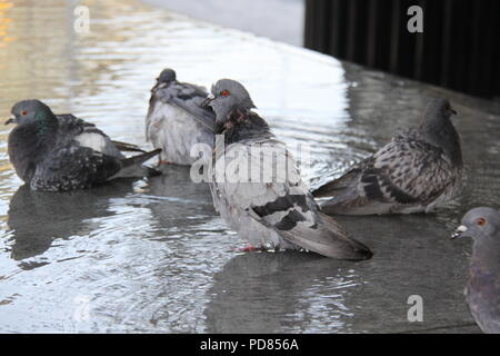 More London Riverside, London, UK. 7th August 2018. UK Weather: On another day expected to reach 33C in London, local pigeons take advantage of the many water features at More London Riverside, London Bridge to cool off. Credit: PETER GRANT/Alamy Live News. - Stock Image