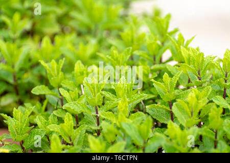 Aromatic green peppermint garden plant close up - Stock Image