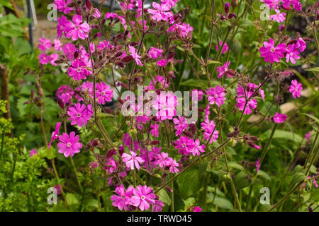 Flowers on a Silene Dioica plant, also known as Red Campion and Red Catchfly - Stock Image