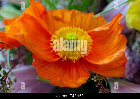 Designer bouquet with big orange poppy flower close up - Stock Image