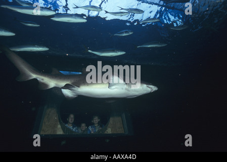 Sand Tiger or Raggie shark at Two Oceans Aquarium in South Africa  - Stock Image