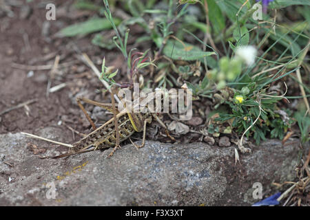 Wartbiter Female at rest on ground Hungary June 2015 - Stock Image