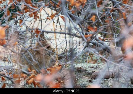 Mountain or Nuttall's Cottontail rabbit (Sylvilagus nuttalli) hiding among Gambel's Oak, Castle Rock Colorado US. Photo taken in April. - Stock Image