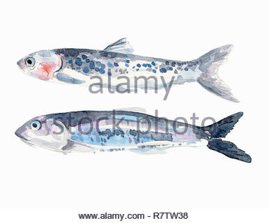 Watercolor painting of two fresh anchovies - Stock Image