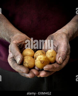 A farmer or gardener cradling a pile of new potatoes - Stock Image