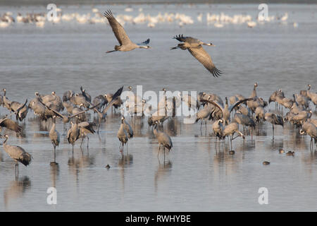 Common Crane (Grus grus). Flock spending the night in shallow waters of the Bodden chain. Western Pomerania Lagoon Area National Park, Mecklenburg-Vorpommern, Germany - Stock Image