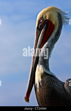 A side view of a male California Brown Pelican showing his breeding plumage. - Stock Image