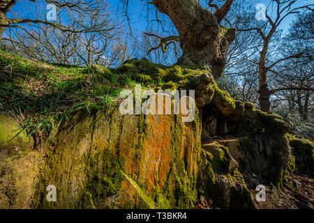 An ancient oak tree growing on top of a granite outcrop in Swithland wood. - Stock Image
