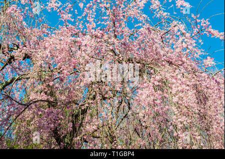 Cherry Blossom Trees at Lexington National Cemetery in Lexington Kentucky - Stock Image