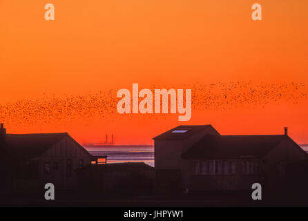 Autumn flock of Knot, (Calidris canutus),at sunset across The Wash, Snettisham RSPB Reserve, Norfolk, United Kingdom - Stock Image