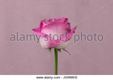 Pink rose pink background close-up - Stock Image