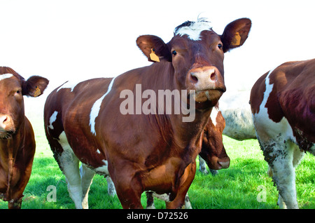 Brown stained milk cows in a green meadow - Stock Image