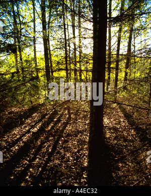 Afternoon light in Forest - Stock Image