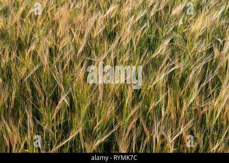 Barley Fields at Scrabo North Down Northern Ireland - Stock Image