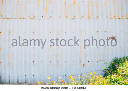 Corrugated metal wall and spring flower background - Stock Image