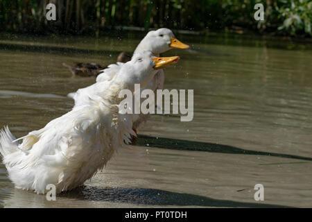 Heavy white Pekin Ducks (Anas platyrhynchos domesticus) shaking water off feathers - Stock Image