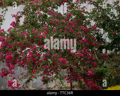 Bougainvillea is a tropical and subtropical garden shrub with beautiful flowers flowering over a long period of the season. - Stock Image