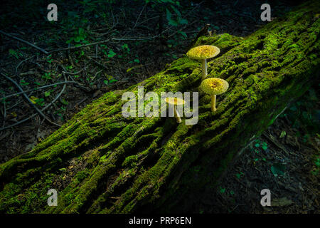 Three Mushrooms On Mossy Log In Forest, Pennsylvania USA - Stock Image