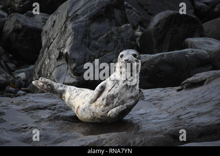 Injured Seal Pup on a rock - Stock Image