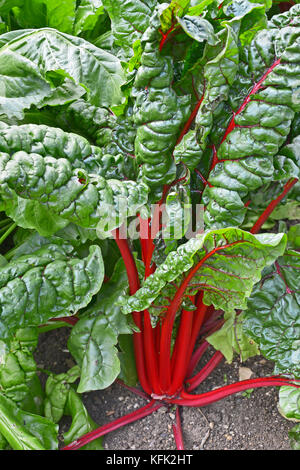 Leafy green Chard growing in an allotment - Stock Image