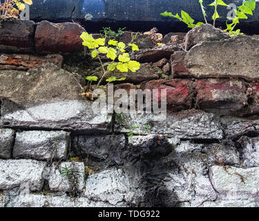 Plant in crack of weathered old cemetry wall In Baruther strasse, Kreuzberg-Berlin. Survival of the fittest concept - Stock Image