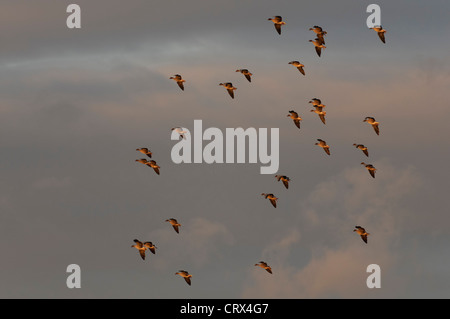 Flock of pink-footed geese (Anser brachyrhynchus) about to land in sugar beet field in dawn light. Norfolk. November. - Stock Image