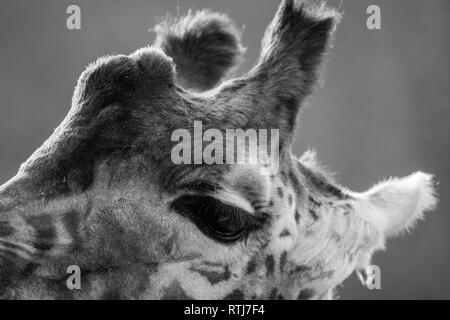 Head of Giraffe or Giraffa camelopardalis in monochrome - Stock Image