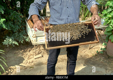 Bees. Bee keeper holding a frame with a colony of Eastern honey bees, Apis cerana, at a Thailand bee farm  Southeast Asia - Stock Image