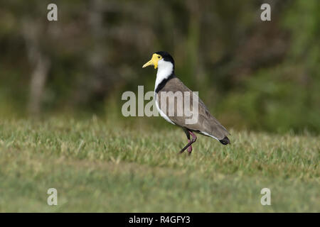 An Australian, Queensland Masked Lapwing ( Vanellus miles ) walking on the ground - Stock Image