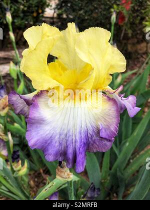 Tall bearded iris, iris germanica, purple and yellow flower in a Mediterranean garden - Stock Image