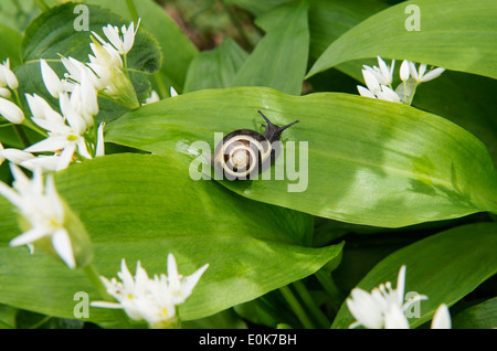 Ramsons or Wild Garlic (Allium ursinum) flowers and leaves with snail Castle Howard North Yorkshire England UK Europe May - Stock Image