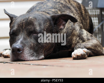 A Pit Bull mixed dog - Stock Image