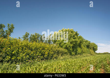 Hedgerow at edge of a field in which maize corn is being grown. - Stock Image