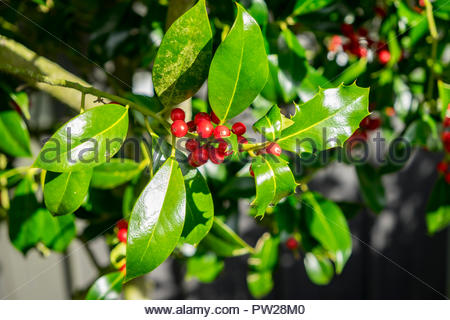 Ripening berries on a holly bush. - Stock Image