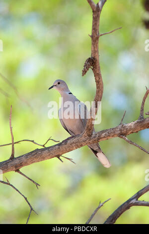 Eurasian Collared Dove, (Streptopelia decaocto), perched in pine forest, Ibiza, Balearic Islands, Mediterranean Sea, Europe - Stock Image