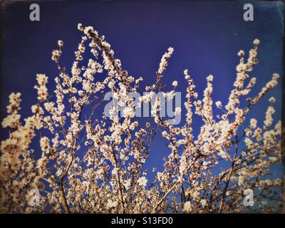 Spring blossoms - Stock Image